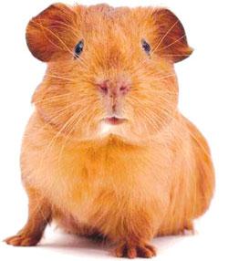 108-0716095250-guinea-pig