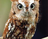 Screech-Owl-Magee-30