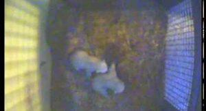 Fifth Polar Bear Cub Born at the Toledo Zoo