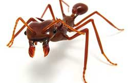 leafcutter-ant1
