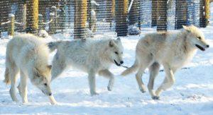 media-wolves-all3-KandaceYork