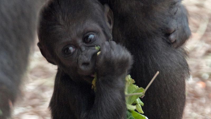 toledo-zoo-baby-gorilla